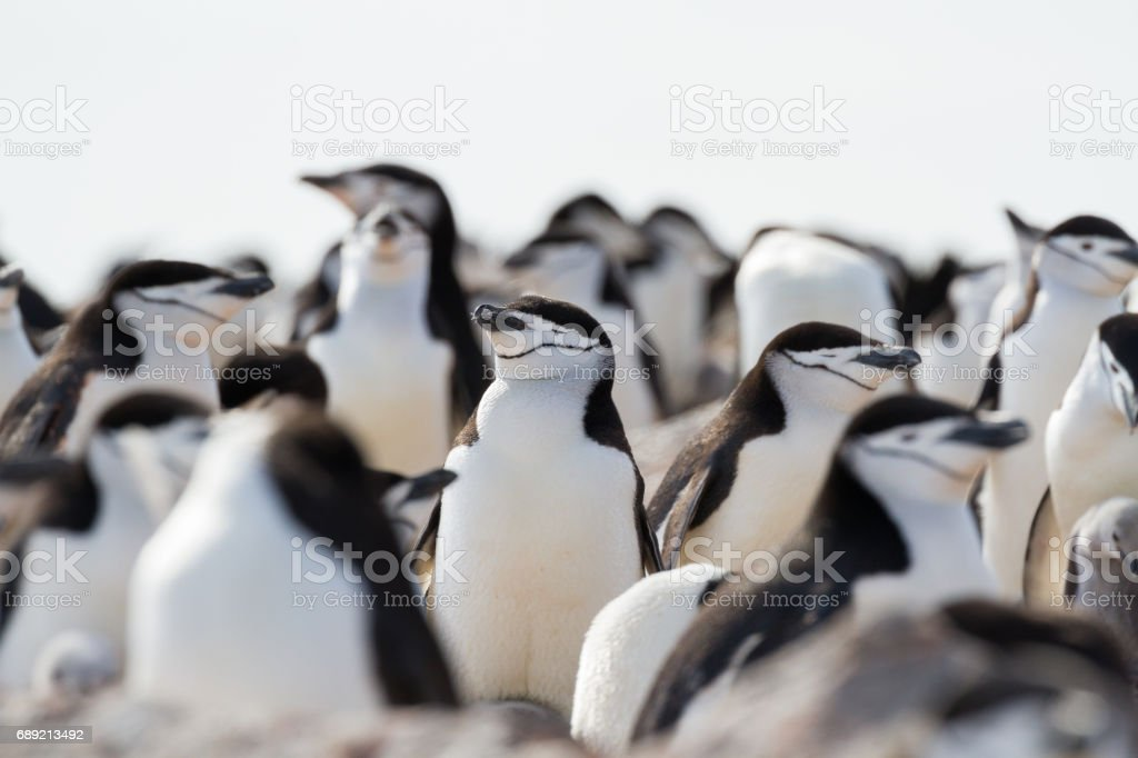 Chinstrap penguins bask in the Antarctic Sun stock photo