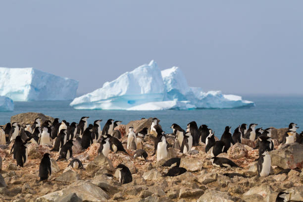 Chinstrap penguins bask in the Antarctic Sun with an iceberg in the background stock photo