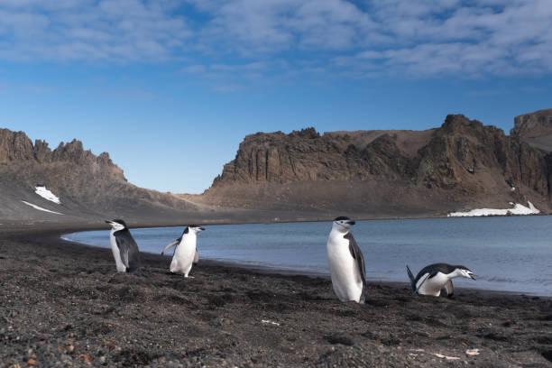 Chinstrap Pinguine interagieren und singen an einem Strand in Deception Island, South Shetland Islands, Antarktis – Foto