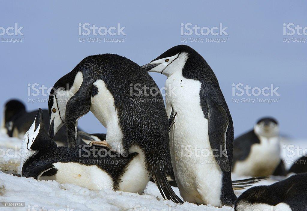Chinstrap penguins mating stock photo