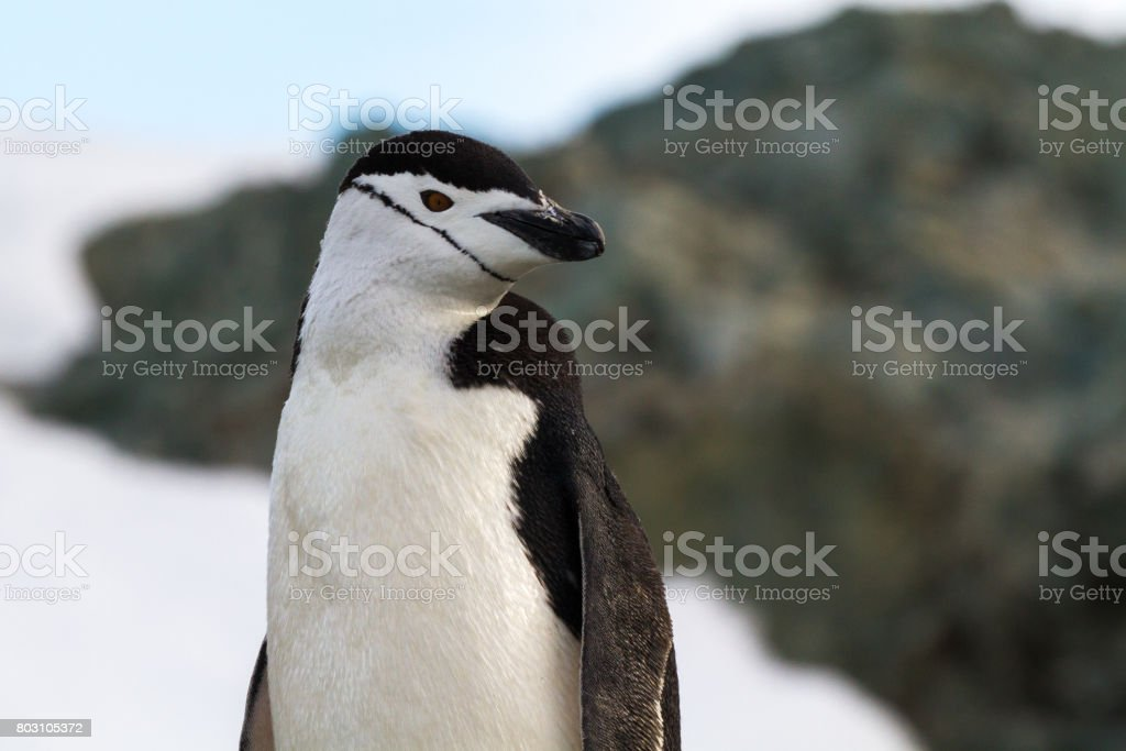Chinstrap Penguins on an Antarctic beach stock photo