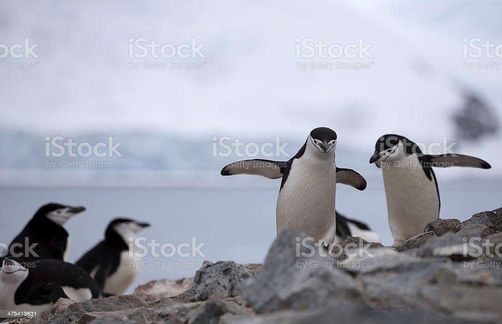 Chinstrap Penguins on Rock Formation stock photo