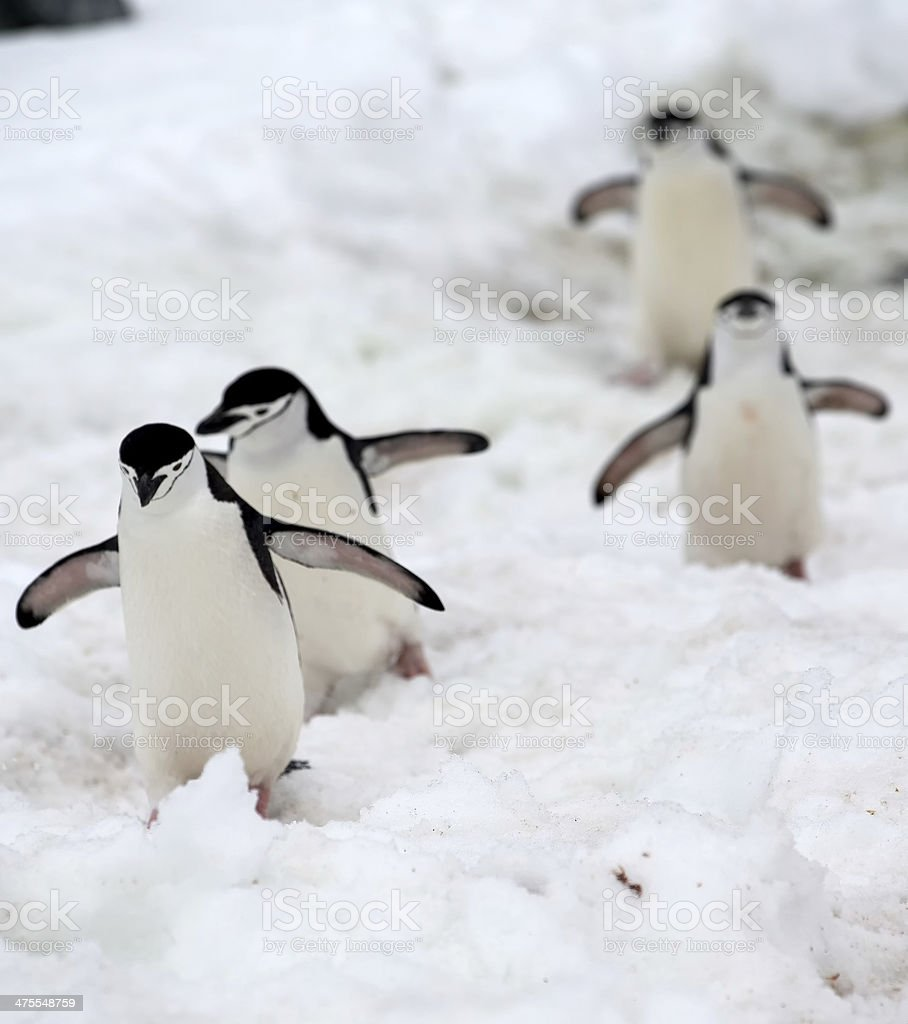 Chinstrap penguins playing follow the leader stock photo