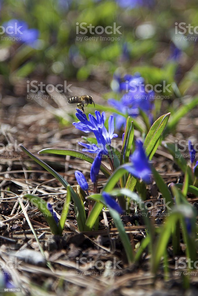Chionodoxa flower with a bee hovering royalty-free stock photo
