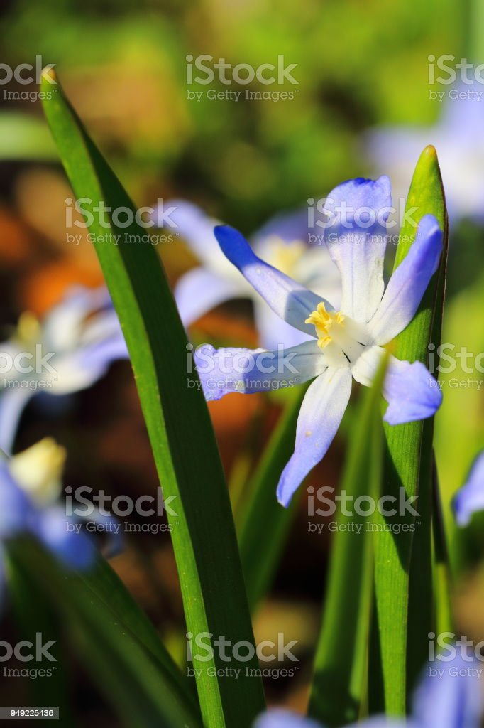 Chionodoxa forbesii, Glory of the snow - early spring flower stock photo