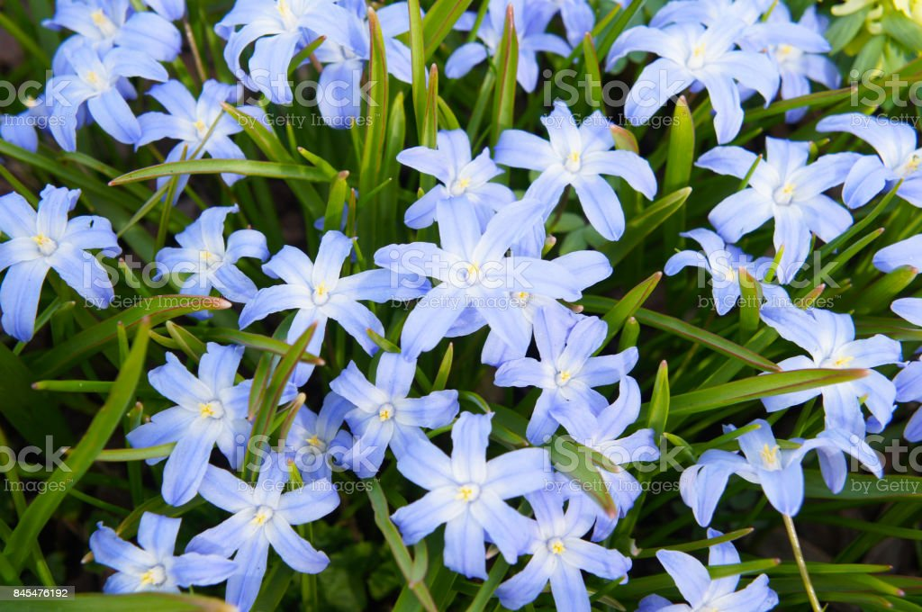 Chionodoxa luciliae many blue flowers with green stock photo