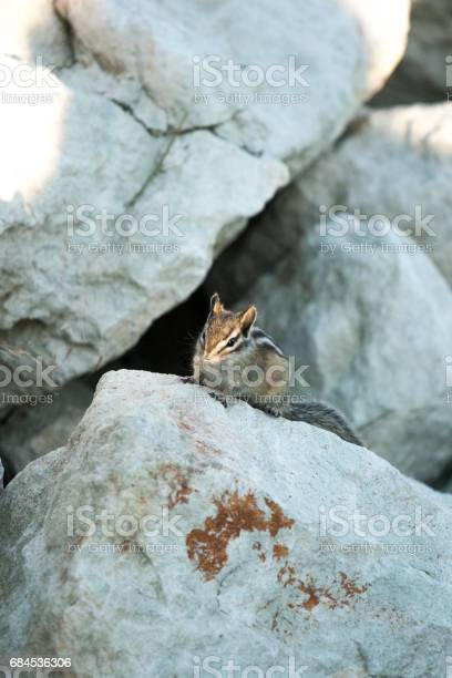 Photo of Chipmank on the rocks on the dusk