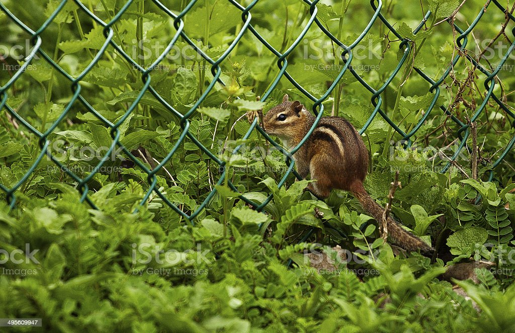 Chipmonk On The Fence stock photo