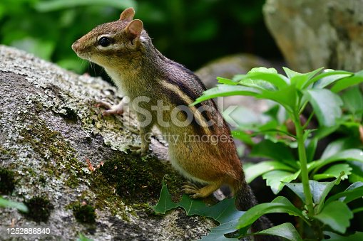 Eastern chipmunk climbing on rock in bed of pachysandra