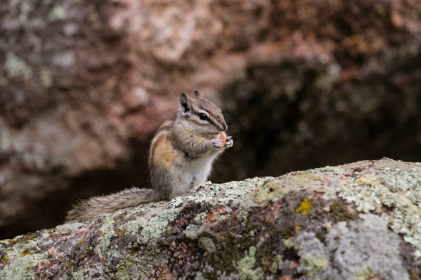 Chipmunk at Rocky Mountain National Park Chipmunk at Rocky Mountain National Park rocky mountain national park stock pictures, royalty-free photos & images