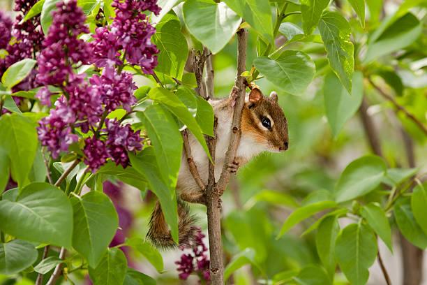 chipmunk climbing lilac tree stock photo