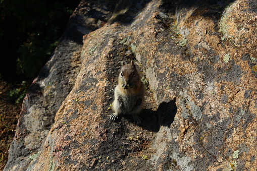 Close up of chipmunk eating while perched on rock