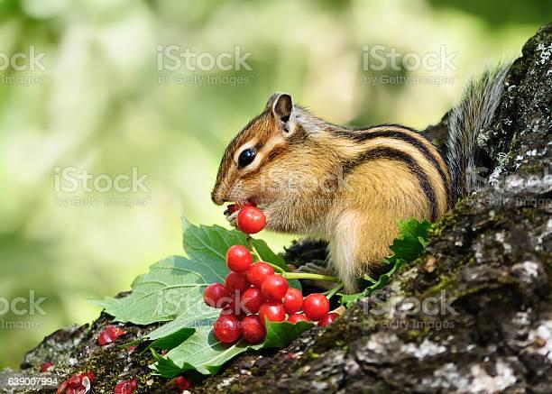 Photo of Chipmunk eating berries viburnum.
