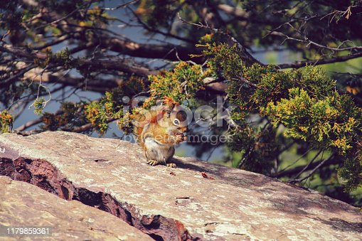 Chipmunk eating in the sun, sitting on a rock