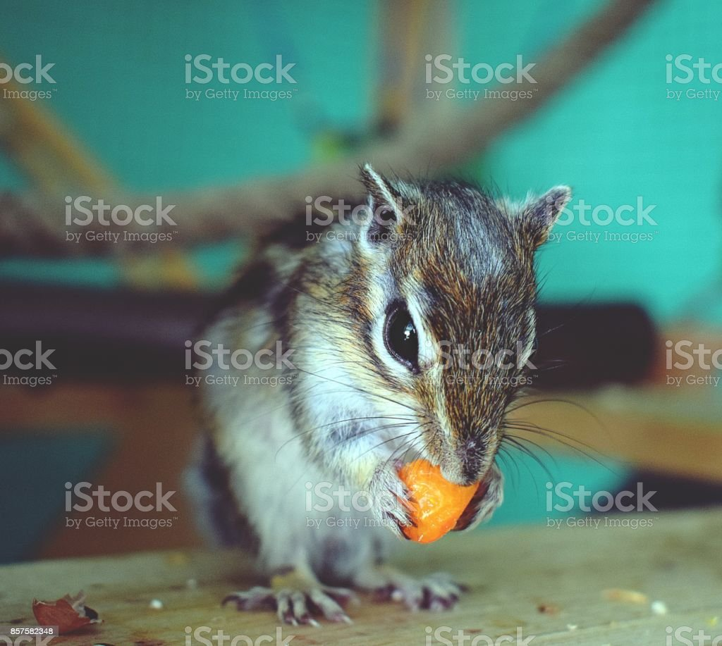 Chipmunk eating peach stock photo
