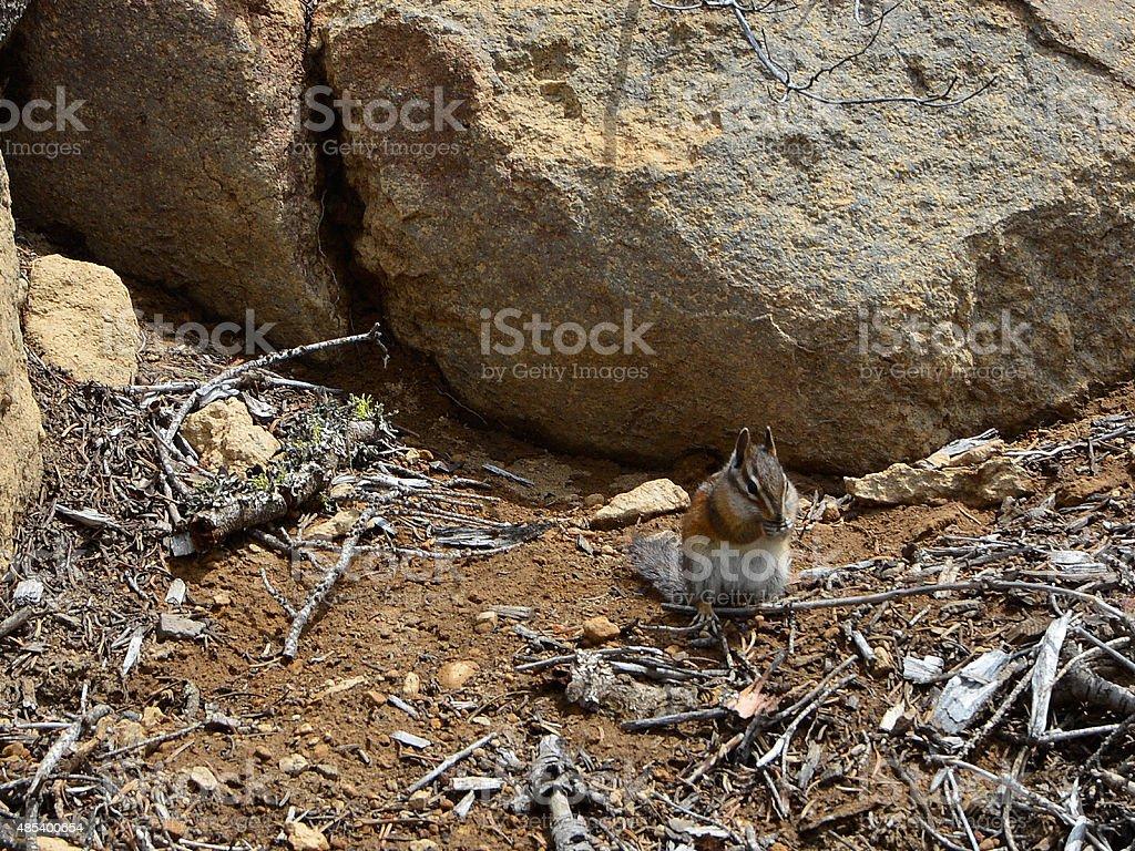 Chipmunk eating stock photo
