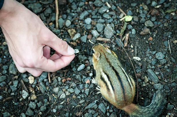 Streifenhörnchen Essen Samen – Foto
