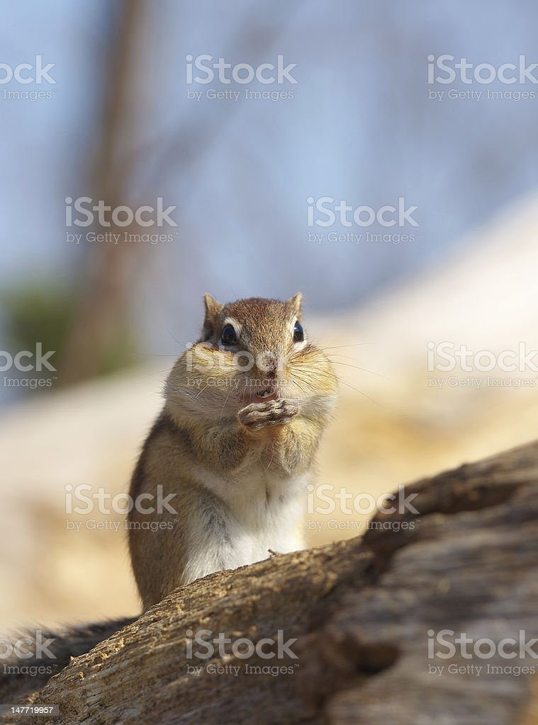 Chipmunk eating sunflower seeds stock photo