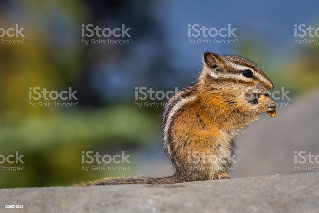 Chipmunk Eats a Piece of Granola stock photo