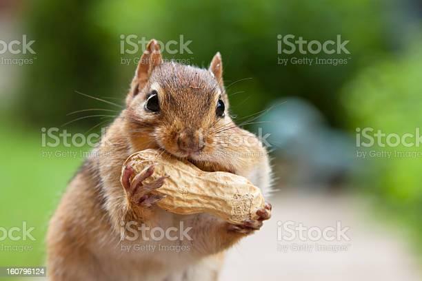 Photo of Chipmunk enjoying large peanut