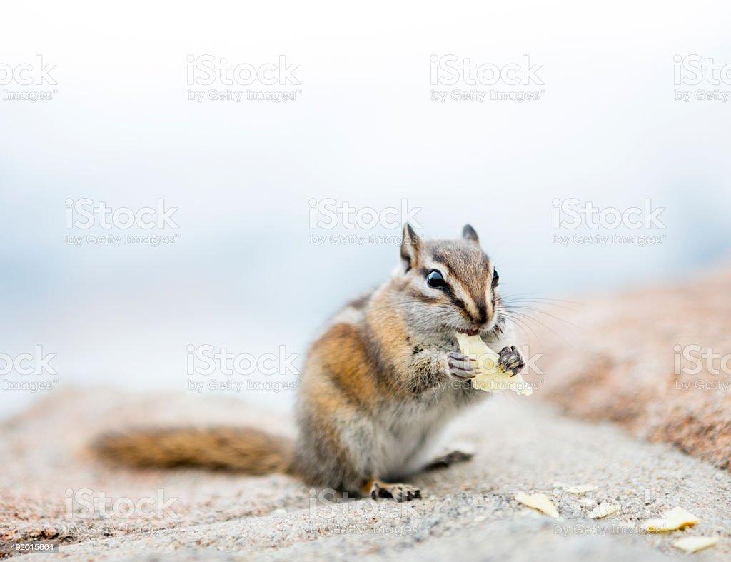 Chipmunk Feeding. stock photo