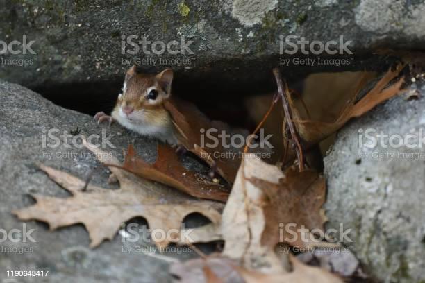 Photo of Chipmunk hiding
