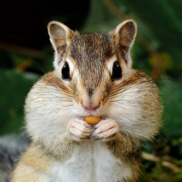 chipmunk in forest - squirrel stock photos and pictures