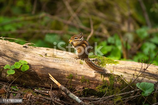 Chipmunk in the forest eating