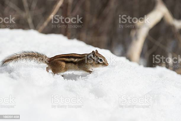 Photo of Chipmunk in Winter