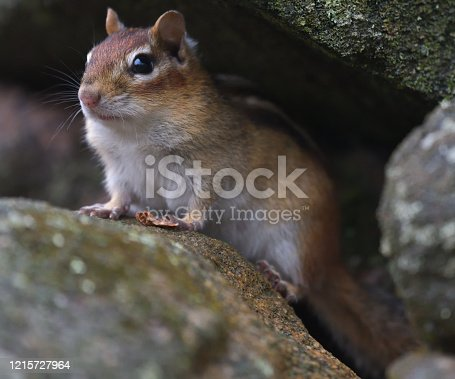 Eastern chipmunk looks out from burrow in stone wall