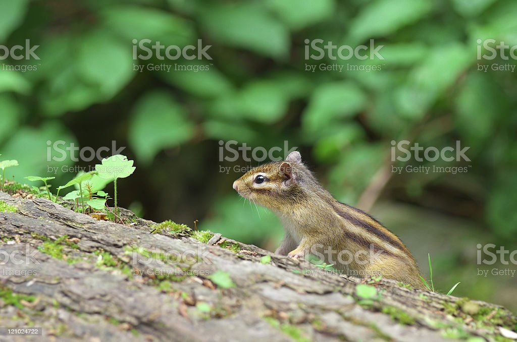 Chipmunk on a fallen tree royalty-free stock photo