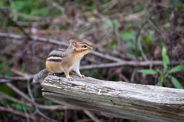 Streifenhörnchen auf log – Foto