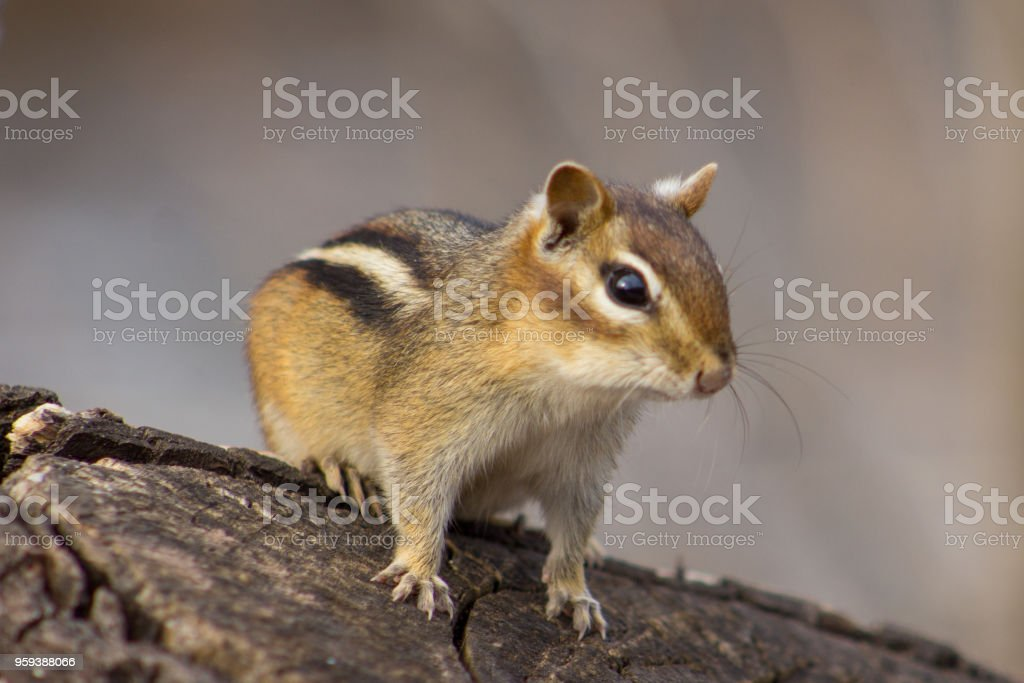 Chipmunk on a Stump stock photo