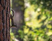 Eastern Gray Squirrel - Sciurus carolinensisl on a tree in the yosemite national Park, California. USA