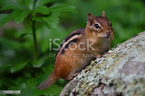 Eastern chipmunk on lichen-covered boulder looking at camera, pachysandra in background. Taken in the Connecticut countryside.