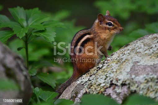 Full shot of eastern chipmunk in Connecticut on lichen-covered rock with raised paw, pachysandra in background and foreground.