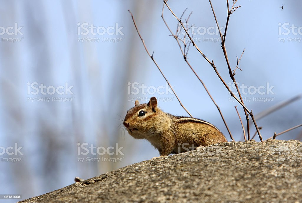 Chipmunk on cement royalty-free stock photo