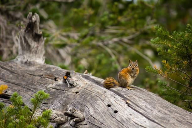 Chipmunk on Dead Larch Tree stock photo
