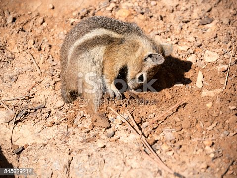 Chipmunk on earthy brown dirt ground