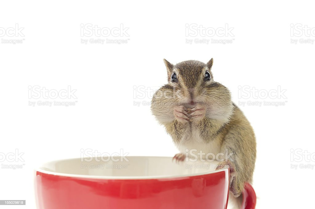 Chipmunk on red cup royalty-free stock photo