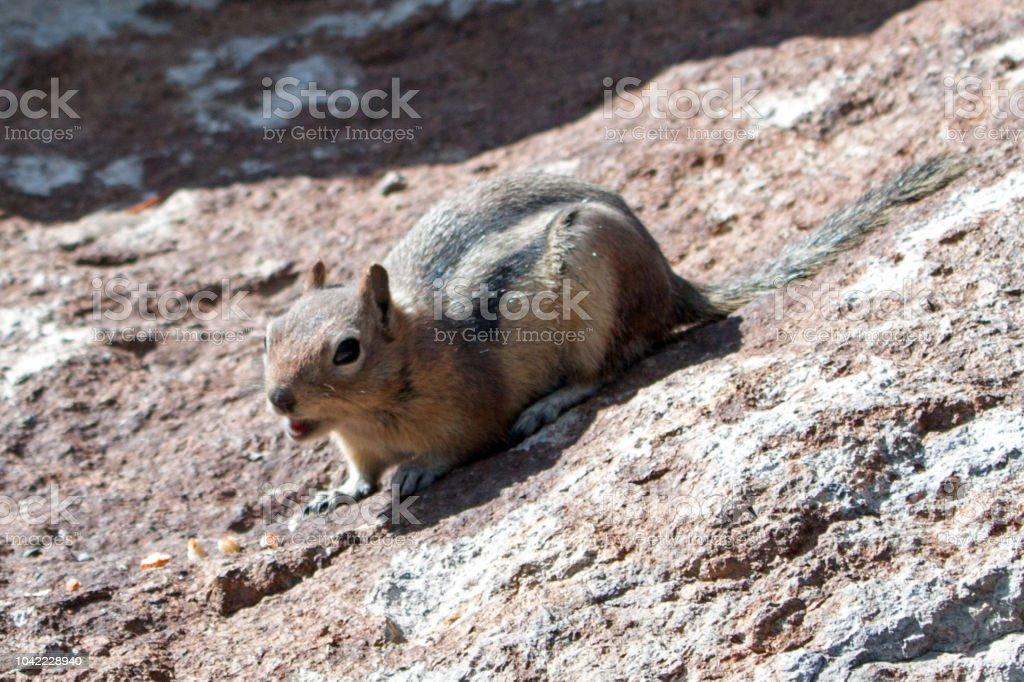 Ardilla en roca canto una advertencia cerca Gibbon Falls en Parque Nacional de Yellowstone en Estados Unidos Wyoming - foto de stock