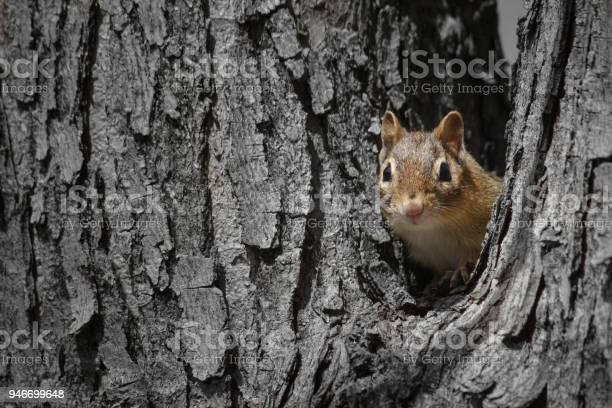 Photo of Chipmunk peeking out