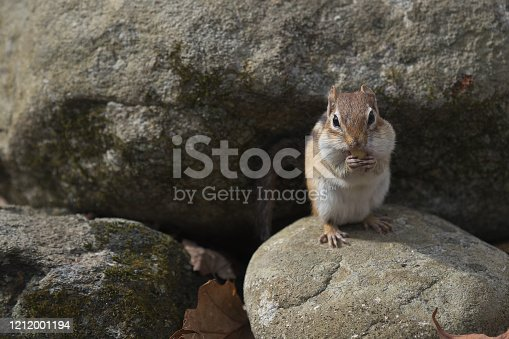 Eastern chipmunk perched on rock, eating acorn