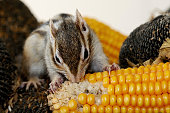 Chipmunk on corn cob and sunflower. Eating seeds.