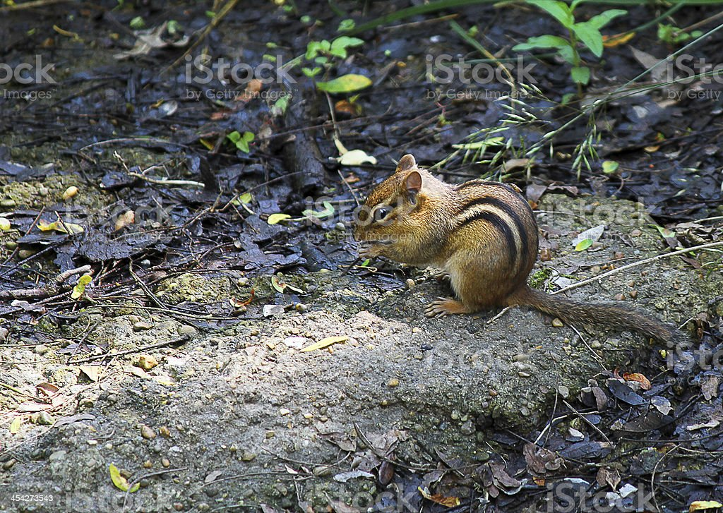 Chipmunk royalty-free stock photo