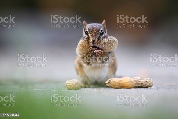 Photo of Chipmunk