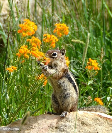 Chipmunk taking time to smell the flowers