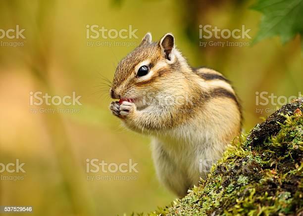 Photo of Chipmunk .