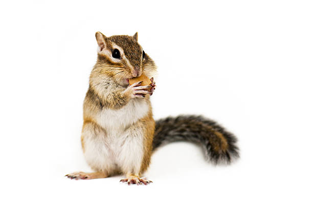 chipmunk - squirrel stock photos and pictures