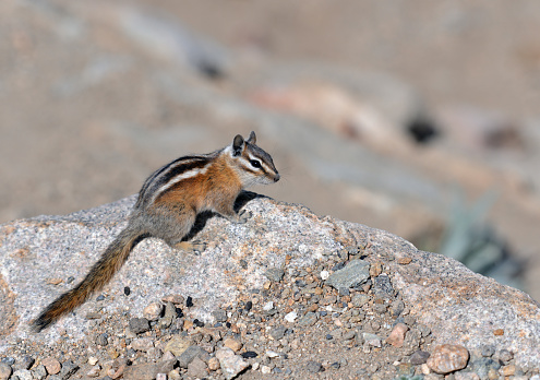 Chipmunk on a rock in the alpine tundra of the Rocky Mountain National Park, Colorado, USA.